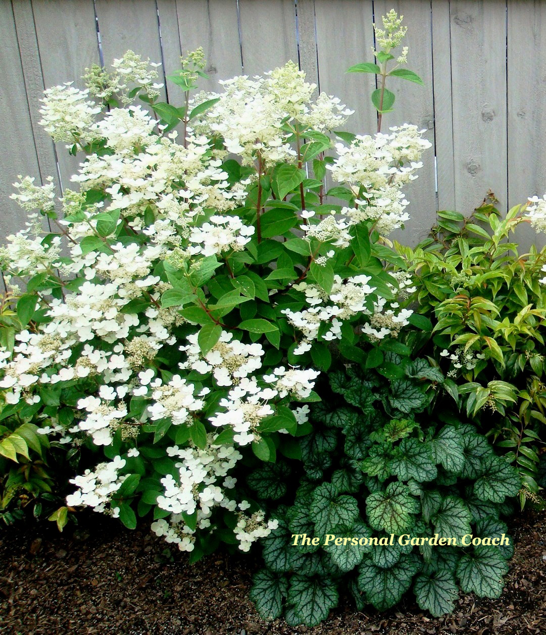 Hydrangea P. u2018Quick Fireu2019 Burns Bright for Summer and Fall : THE Personal Garden Coach
