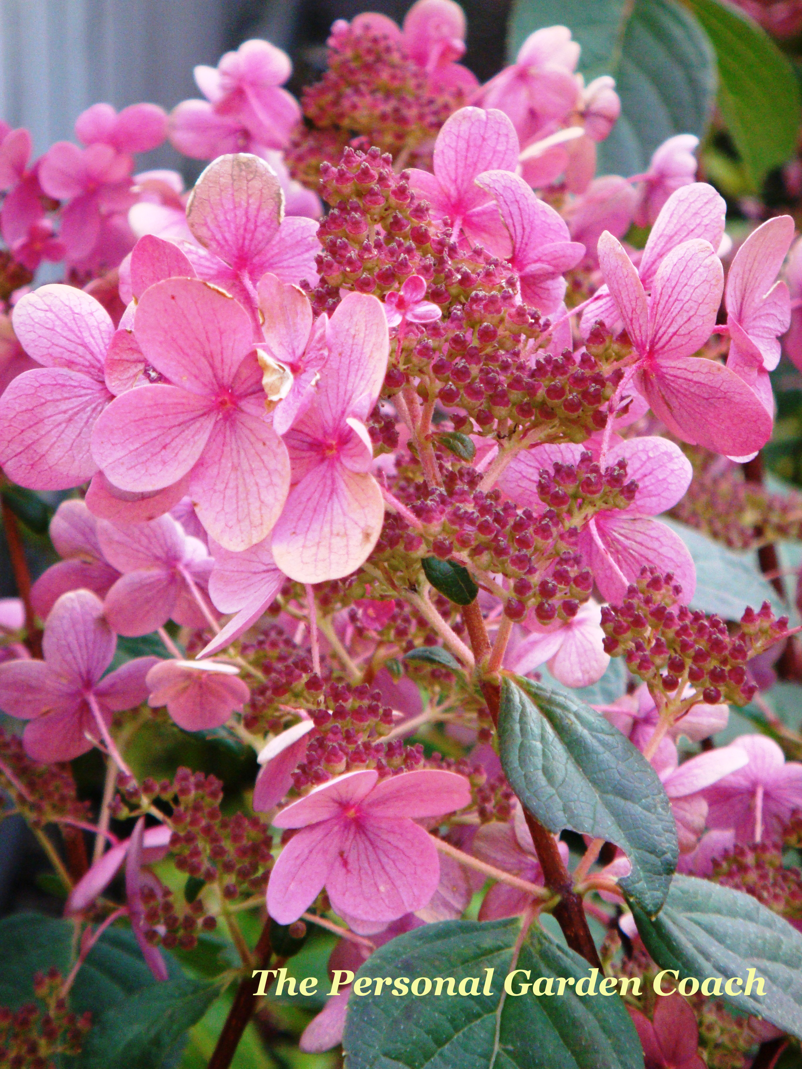 Hydrangea P. 'Quick Fire' Burns Bright for Summer and Fall | THE ...