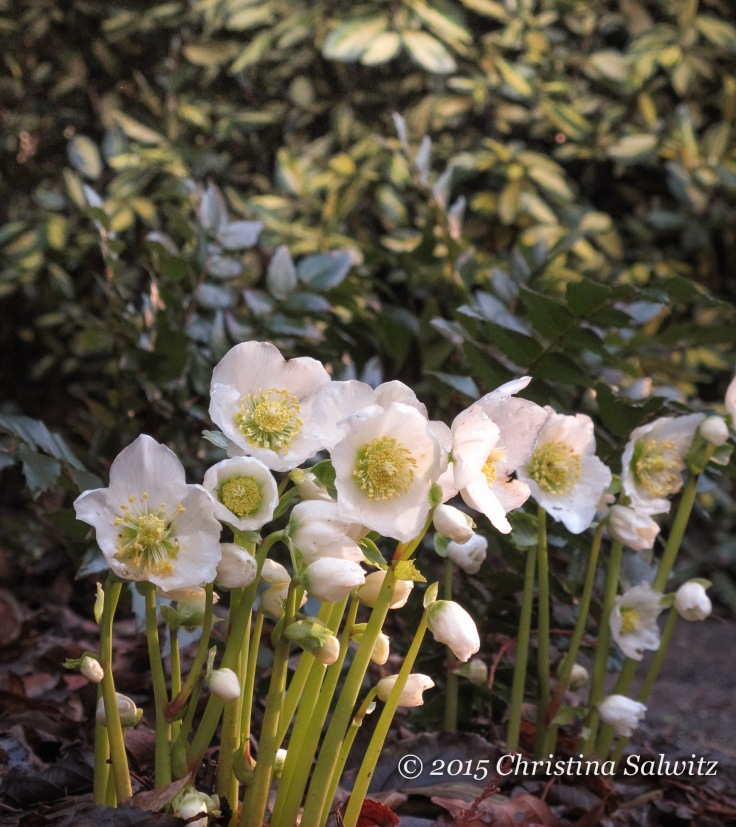 Helleborus niger in the early morning light.