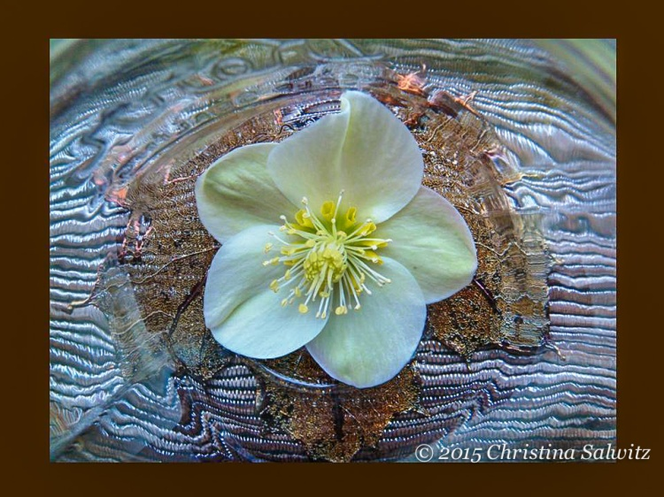Helleborus niger under glass