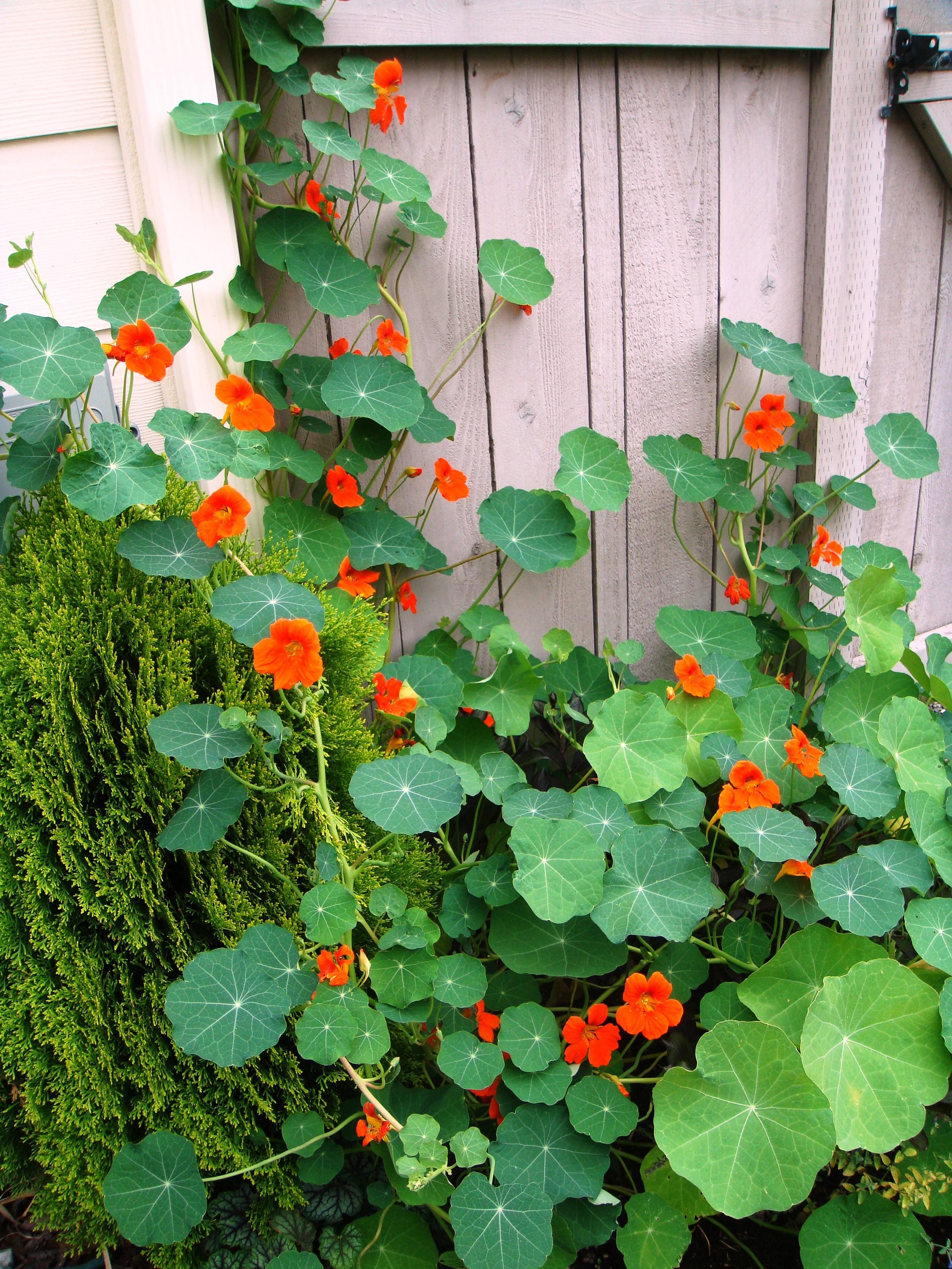 Renee's Garden 'Spitfire' Nasturtium Update