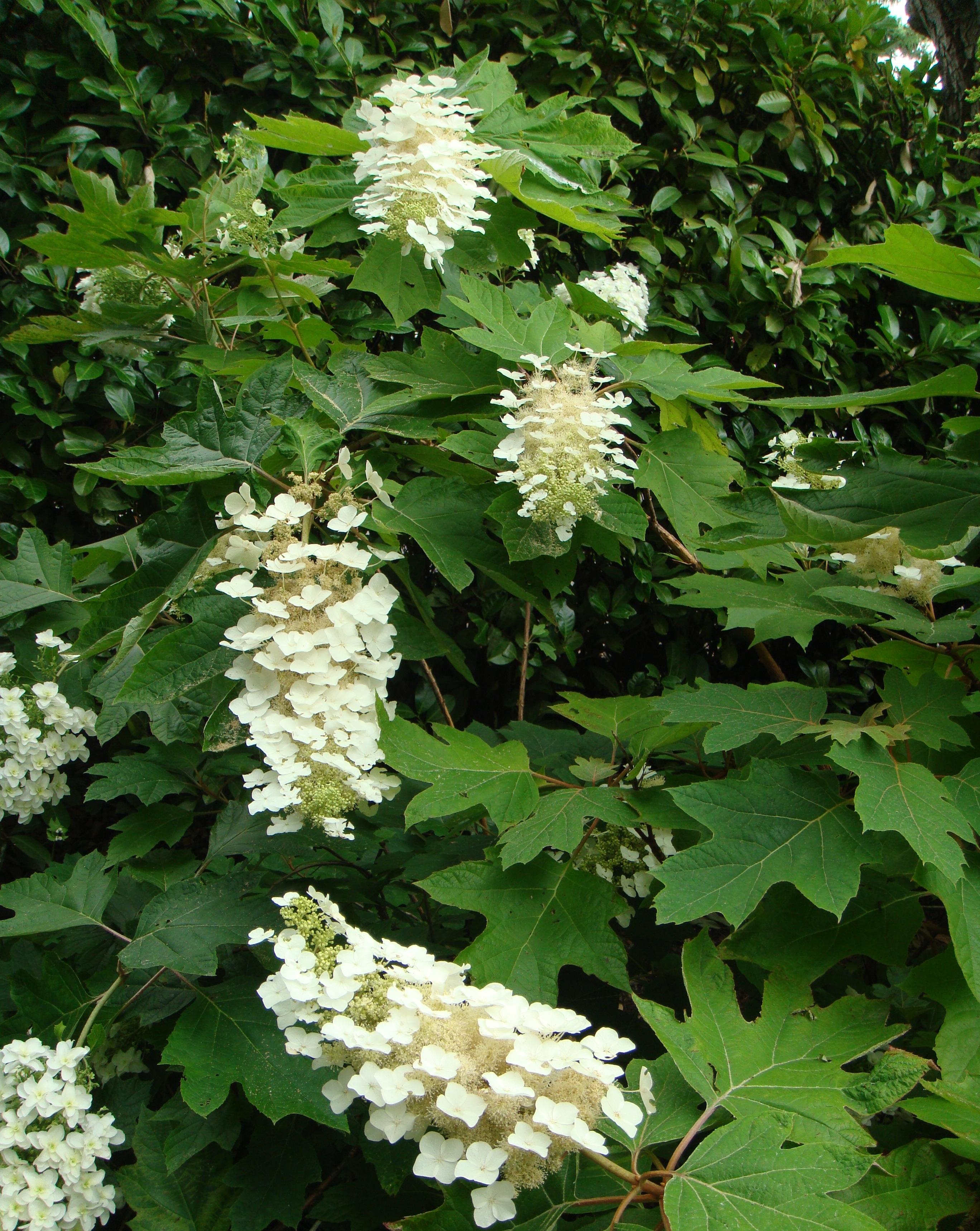 Oakleaf hydrangea the personal garden coach for Hydrangea quercifolia