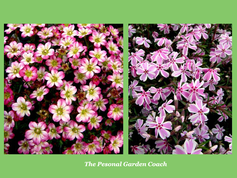 Early flowering perennial performers for impact the personal another under used early perennial that i adore is mossy saxifraga this vibrant and abundant flowering rock garden or ground cover plant is so easy to grow mightylinksfo