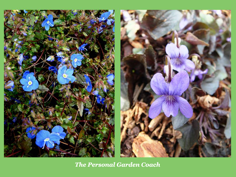 Early flowering perennial performers for impact the personal veronica mightylinksfo
